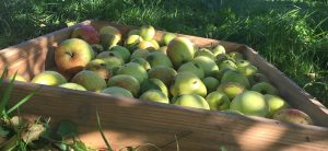 apple picking at Devon Yurt