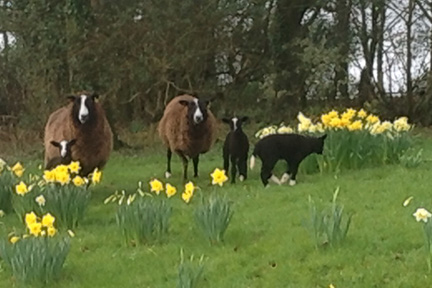 Beautiful Zwartble lambs are born at Borough Farm