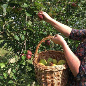 Harvesting cider apples