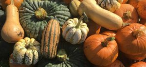 Pumpkin and squash harvest