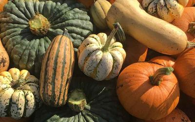 The pumpkins at Borough Farm are gathered in time for Halloween