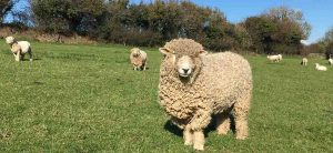 rare breed devon and cornwall longwools