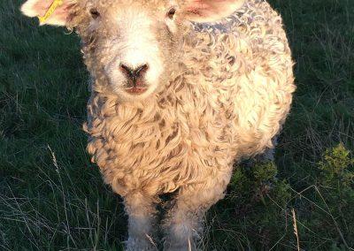 Longwool sheep at Devon Yurt Holidays