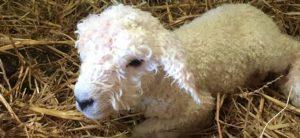 cuddly spring lambs