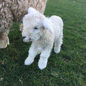 Beautiful curly lamb