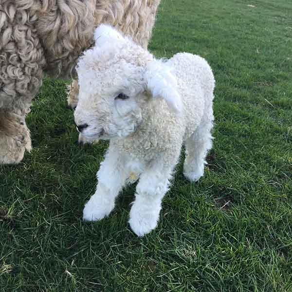 Spring lambs are the cutest new arrivals at Borough Farm
