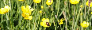 Buttercups in grass meadow with beetle