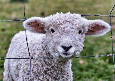 New lamb at Devon Yurt
